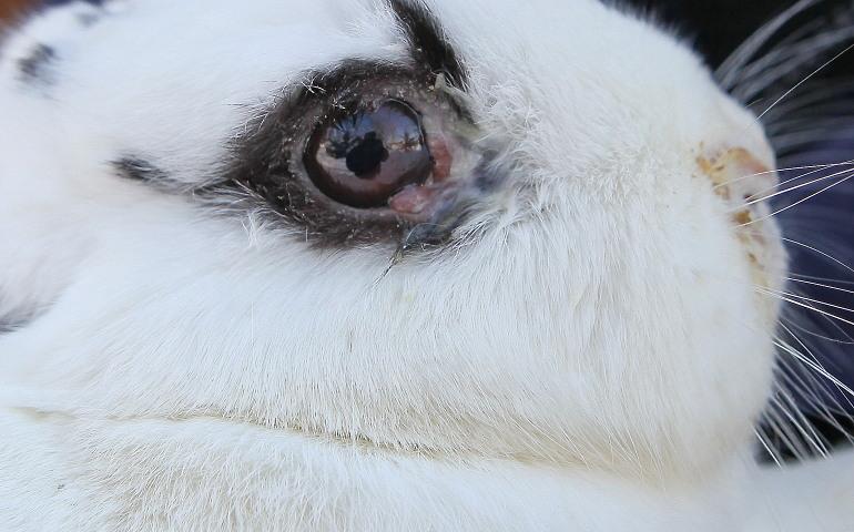 Что делать если у кролика слезятся глаза. что делать, если у кролика начали слезиться глаза