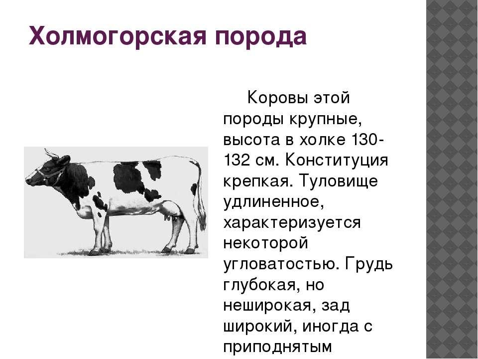 """""""холмогорская"""" порода коров ?: характеристика, внешний вид, болезни и фото"""