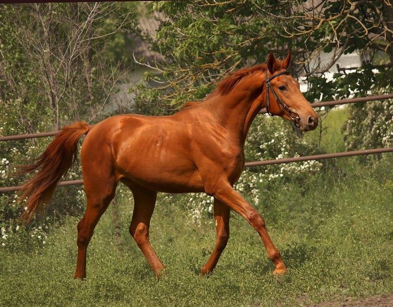 Донская лошадь: история, происхождение породы, характеристика и использование коней дончаков