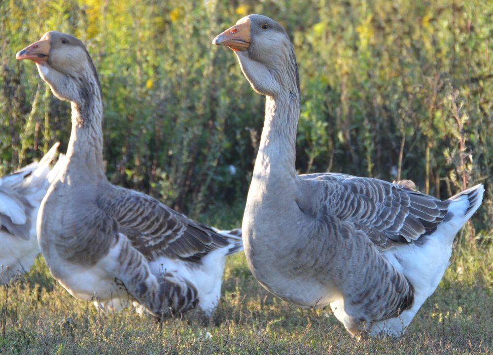 Утки или гуси — кого разводить?