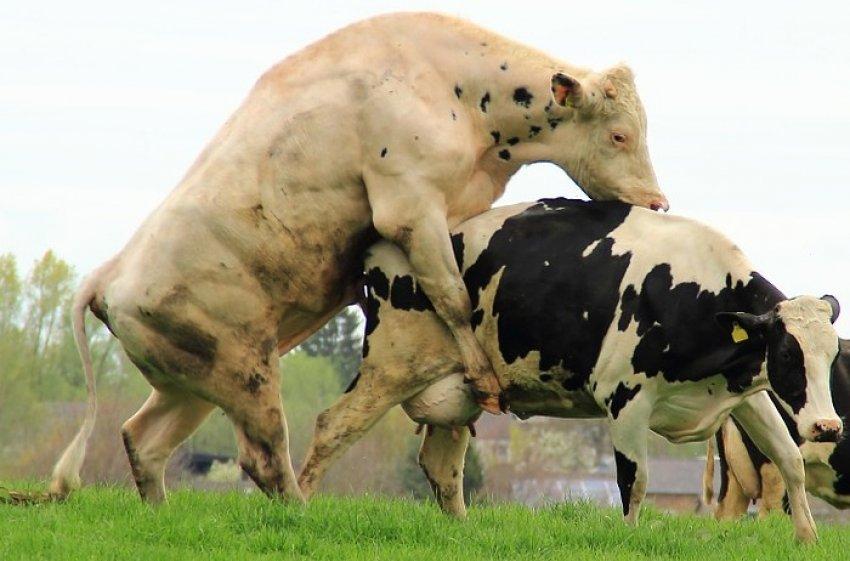 Спаривание (случка) коров: в каком возрасте бык может покрыть буренку — естественное осеменение и искусственное оплодотворение — moloko-chr.ru