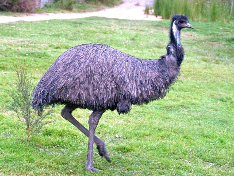Страус эму птица. описание и образ жизни австралийского эму