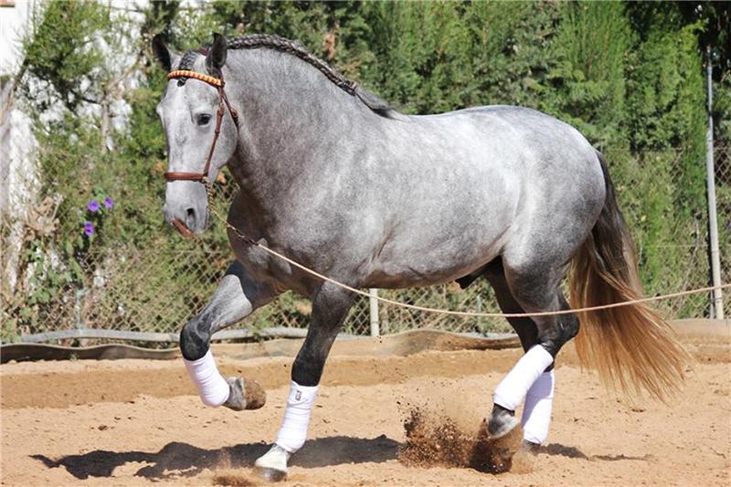 Андалузская порода лошадей - описание и характеристика