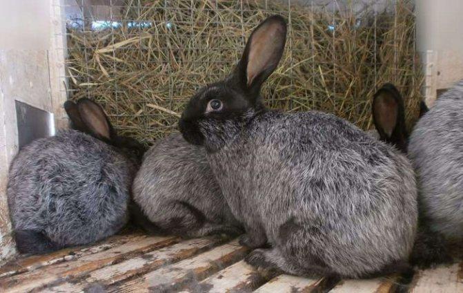 Кролики серебро: серебристые потомки французского шампаня