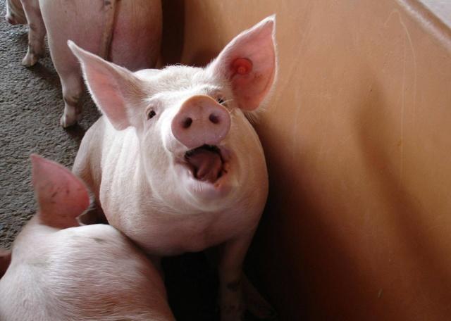 Выращивание и кормление поросят и свиней
