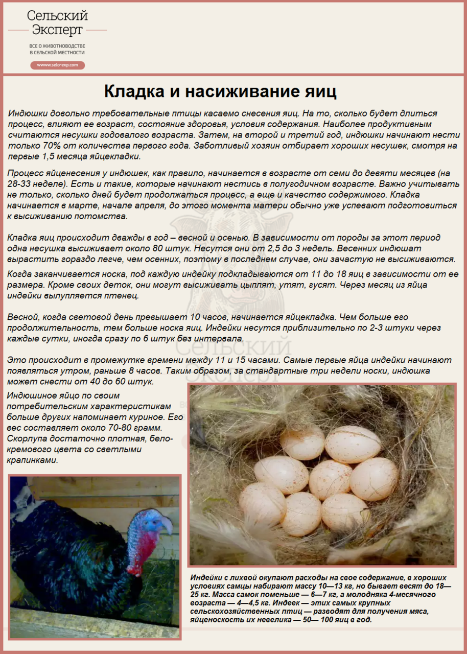Сколько сидит индюшка на яйцах
