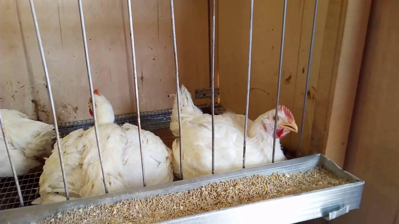 Как за два месяца из цыпленка вырастить бройлера на 3-4 кг?. условия и уход. фото — ботаничка.ru