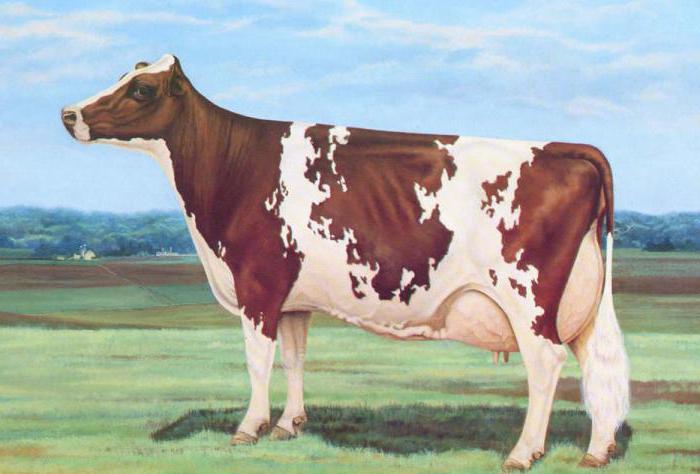 Айрширская порода коров: характеристики и отзывы о породе