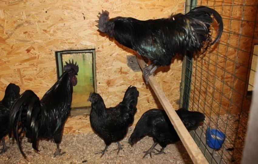 Породы черных кур - фото, описание черной курицы и характеристика, отзывы