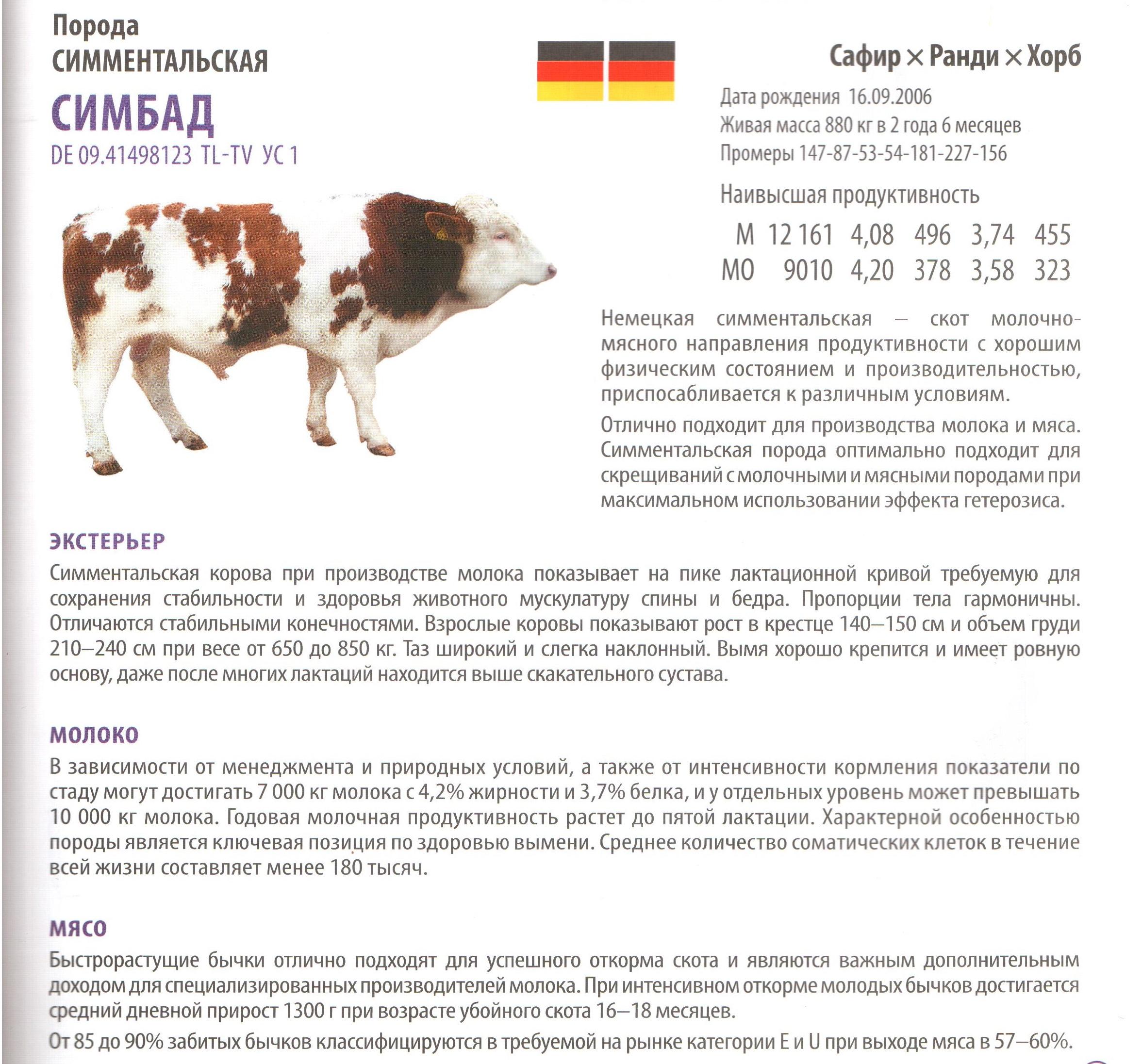 Особенности ухода за симментальской породой коров