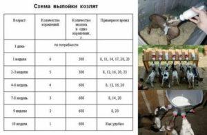 Какое количество молока можно получить от козы за день, месяц, год. сколько литров молока дает коза в день и другие вопросы по доению - заболевания-мед