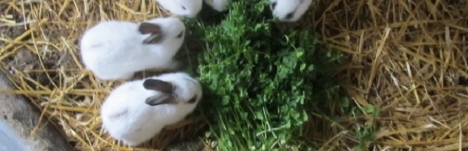 Когда отсаживать крольчат от крольчихи