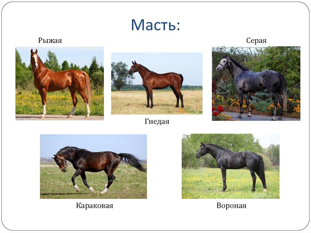 Масти лошадей: основные и производные