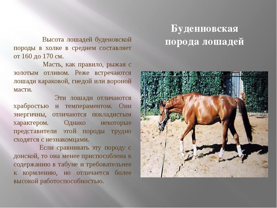О буденновской породе лошадей: буденовский конь относится к верховым, описание