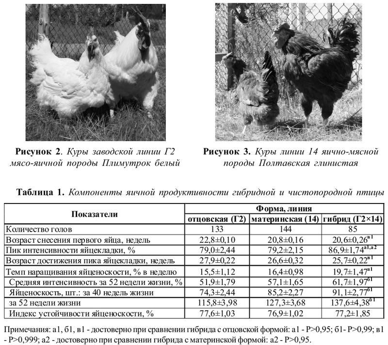 О породах рыжих кур: описание и характеристика, продолжительность яйценоскости