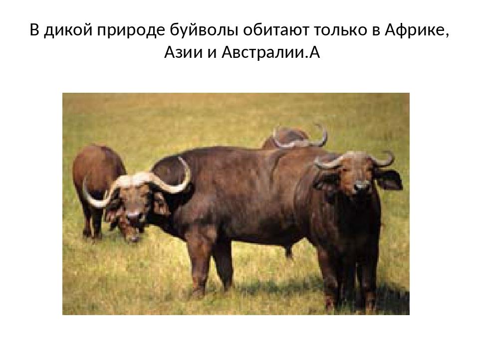 Молоко буйволиное: бжу (содержание белков, жиров, углеводов), калорийность, питательная ценность и польза