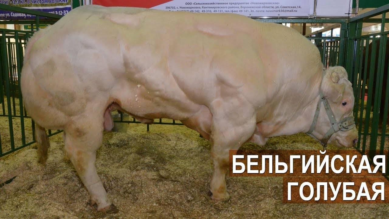 Лучшие мясные породы быков для климата россии: описание содержания и разведения