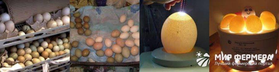 Выведение цыплят в инкубаторе – рекомендации специалиста | дела огородные (огород.ru)