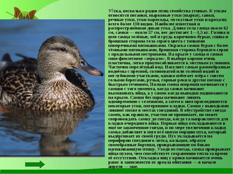 Утка каюга: главные характеристики редкой породы