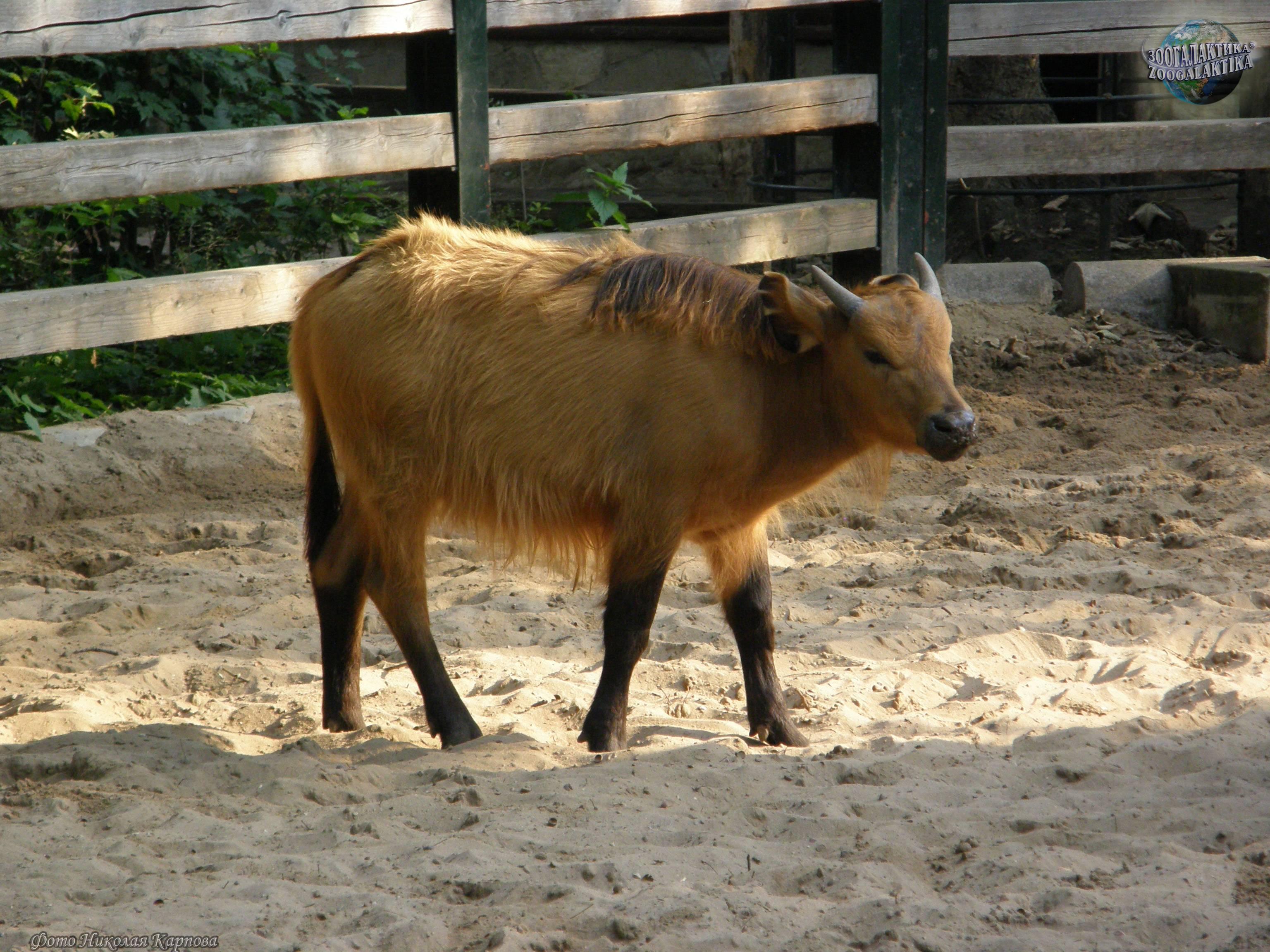 Кто такой карликовый буйвол? : labuda.blog кто такой карликовый буйвол? — «лабуда» информационно-развлекательный интернет журнал