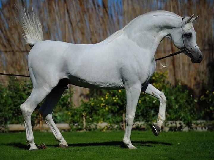 Арабская лошадь: все о породе и ее особенностях