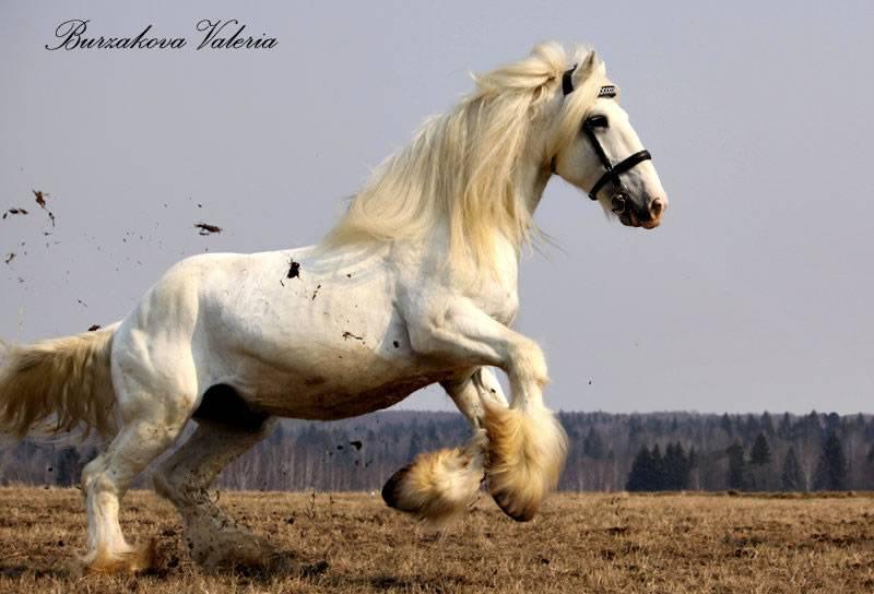 Порода лошади шайр
