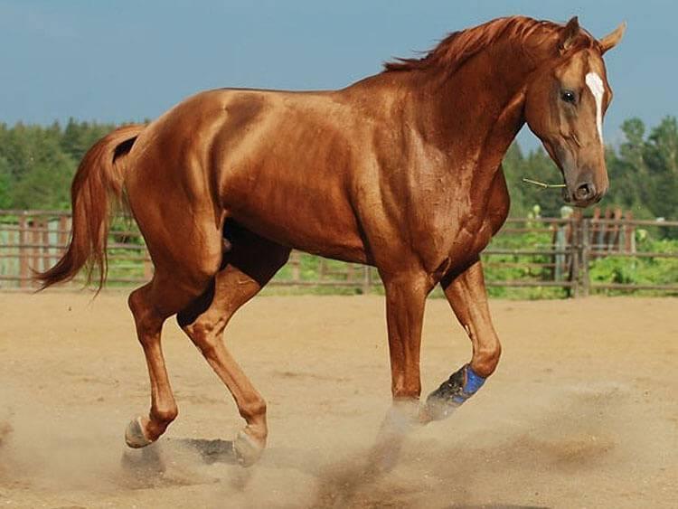 Буденновская порода лошадей: описание, характеристика и фото