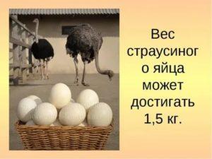 Страусиное яйцо: характеристики и факты. яйценоскость птицы