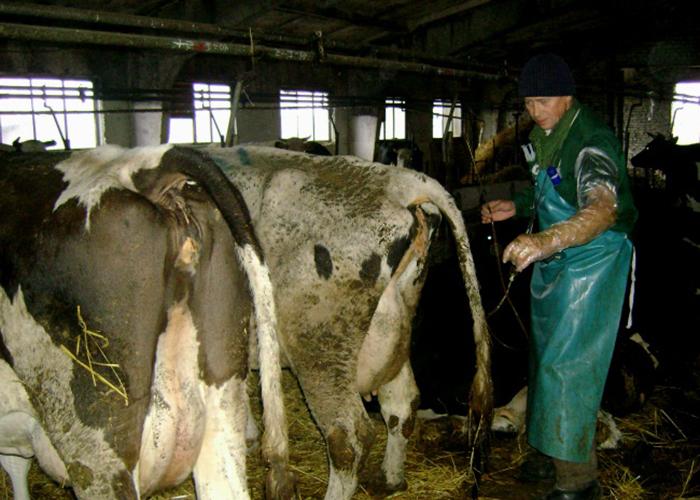 Понос у коровы: лечение в домашних условиях народными средствами