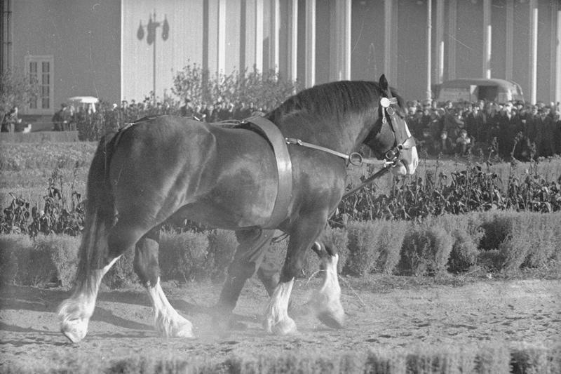 Владимирская порода (тяжеловозные породы лошадей)