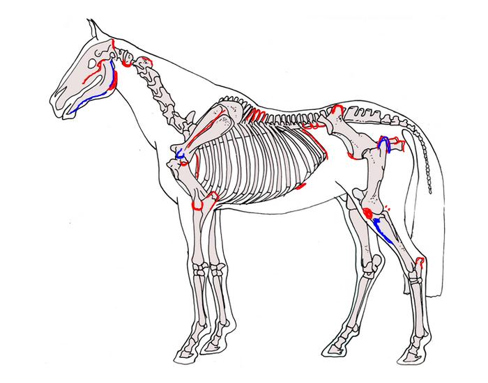 Изучаем анатомию лошадки от а до я