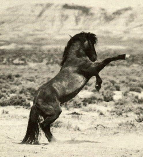 Дикое животное мустанг — характеристика породы диких лошадей и их особенности