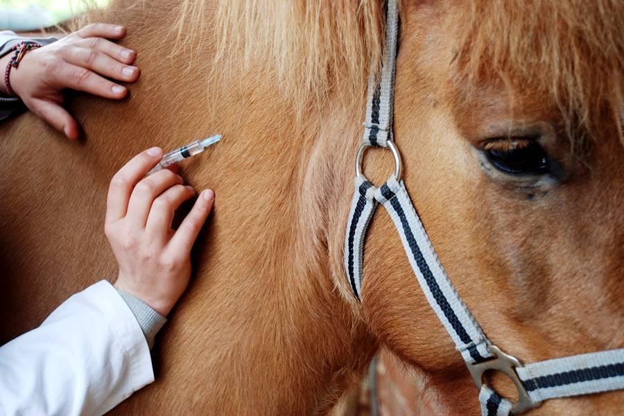 Заболевания и лечение лошадей, выезд ветеринара