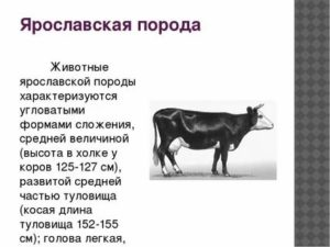 Правила содержания ярославских коров, преимущества породы и особенности кормления