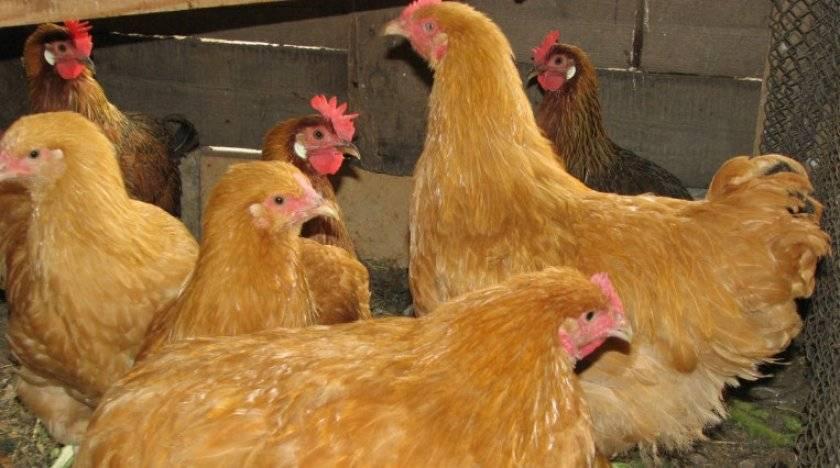 Порода кур фокси чик - лидер по яйценоскости и мясным характеристикам