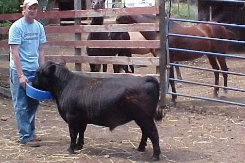 Карликовые декоративные козы: описание породы