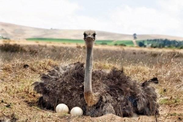 Виды и породы страусов
