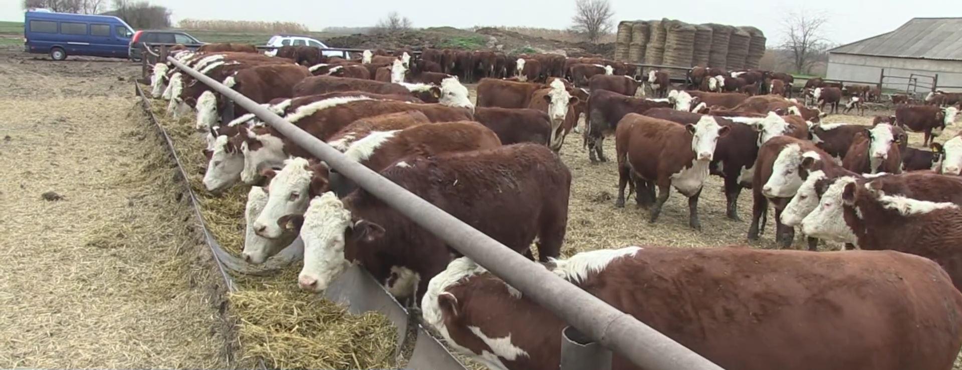 Откорм бычков на мясо в домашних условиях: рацион кормления, как выкормить?
