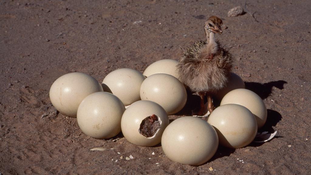 Яйценоскость страусов. интересные факты о яйцах