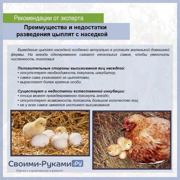 Как курица высиживает яйца и что делать, если не садится, в каких случаях нужно отучить несушку от насиживания