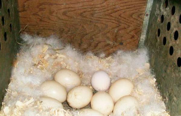 Сколько дней курица высиживает яйца?
