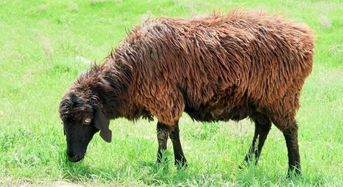 Эдильбаевская порода овец: описание, разведение и содержание