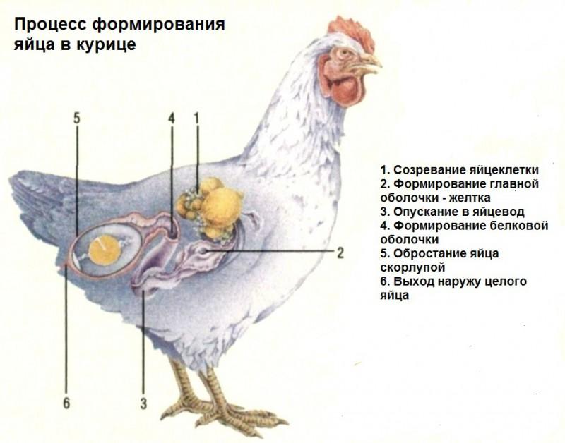 Сколько яиц несет курица в день?