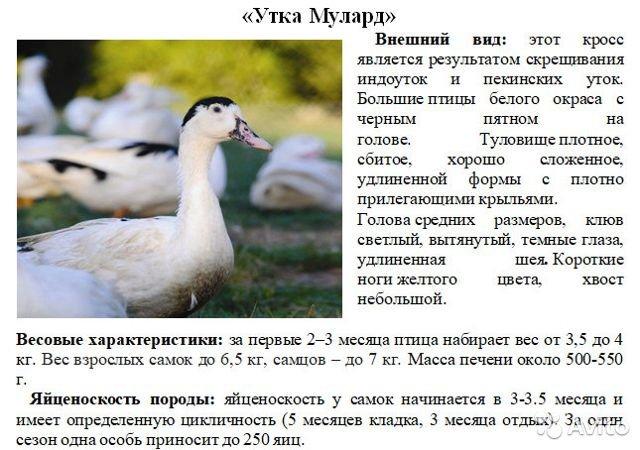 Породы гусей: лучшие породы для домашнего разведения
