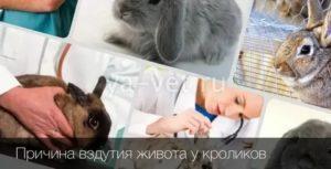 Кролики плохо едят. почему кролик стал пассивным (вялым) – не ест, не пьет, не играет? какие лечебные меры предпримет ветеринар - человек и здоровье