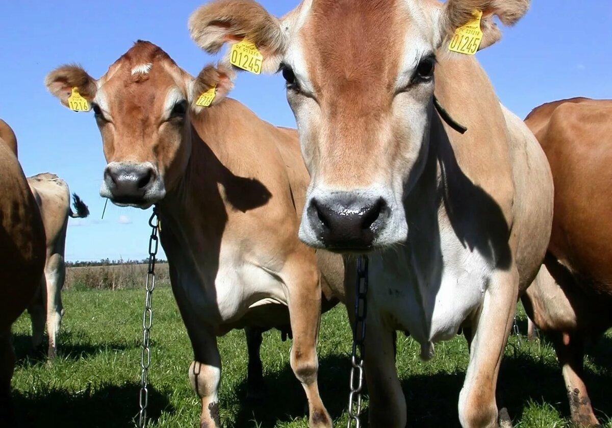 Сколько стоит живая корова в россии