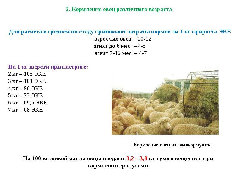 Разведение овец и баранов в домашних условиях — рекомендации для начинающих