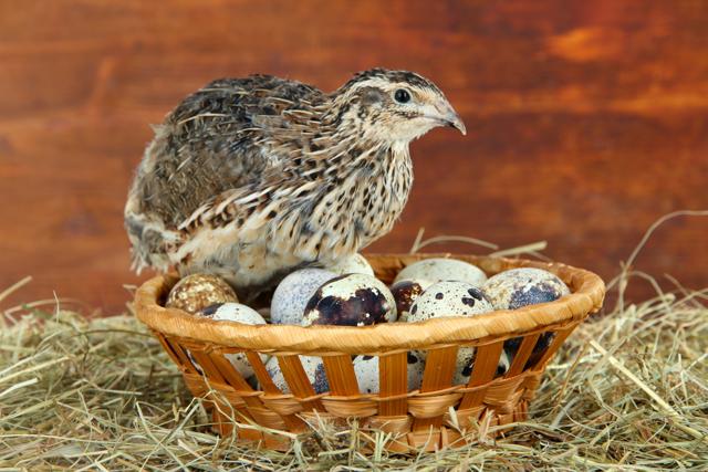 Как развести перепёлок-несушек в домашних условиях — чем кормить, в каком возрасте начинают нестись, сколько яиц несут
