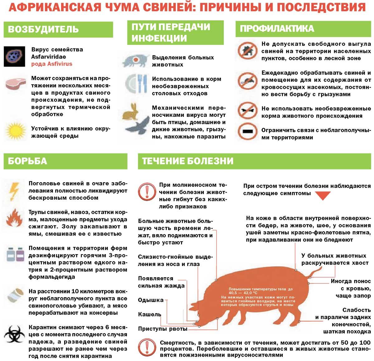 Чем отличается классическая чума свиней от африканской чумы свиней