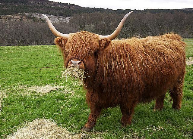Плюшевая корова: характеристики, пушистая корова